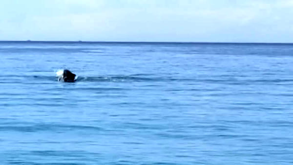 Delfini a pochi metri dalla riva, spettacolari acrobazie a Scilla |VIDEO